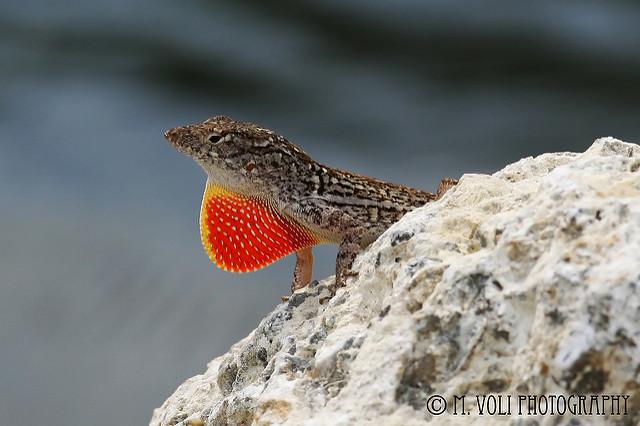 "Lizard at J. N. ""Ding"" Darling National Wildlife Refuge, Sanibel Island, FL. Photo: Michelle Voli Photography"